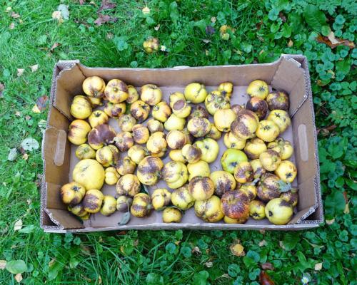Magere Quittenernte in unserem Garten in Falster