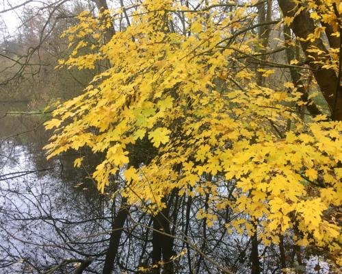 Gelbe Blätter an der Bille bei Bergedorf