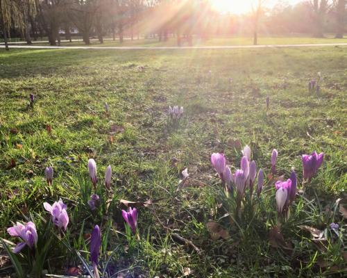 Frühlingsboten. Krokusse im Grüneburgpark