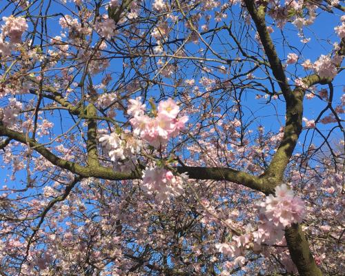 Kirschblüte in Fischers Park