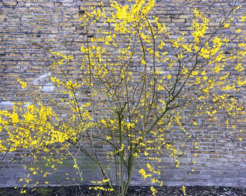 Blühender Goldflieder an einer Mauer eines Oelsner-Wohnblocks in Hamburg Altona
