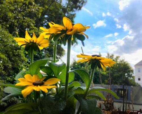 Sonnen-Blumen auf dem Balkon