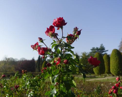 Rose im Schulgarten, Volkspark Altona