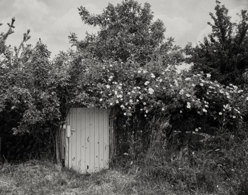Gartentor mit Buschrosen. Kleingarten. Hinter Niederursel. Aufnahme in 4x5 auf Retropan.